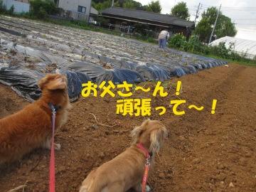 続々芋苗植え10