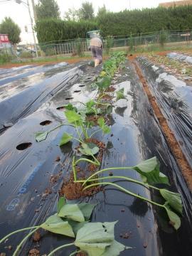 続々芋苗植え14