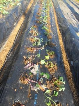 続々の芋苗植えと石鹸作り