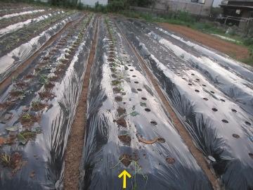 続々の芋苗植えと石鹸作り16