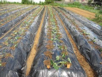 さつま芋苗植え終了