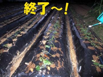 さつま芋苗植え終了3