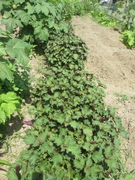 赤ジソ収穫4