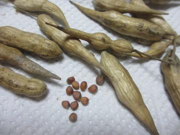 桜島大根の種2