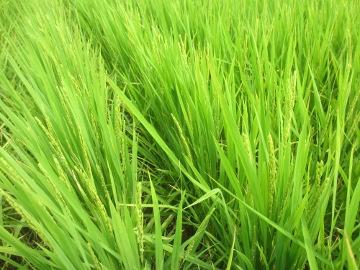 有機米の花