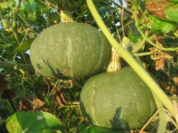 カボチャ収穫2
