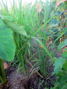 里芋の中の稲