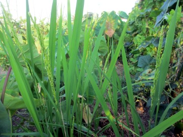 里芋の中の稲2