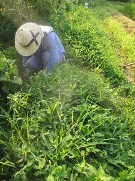 里芋の中の稲3