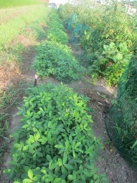 里芋の中の稲4