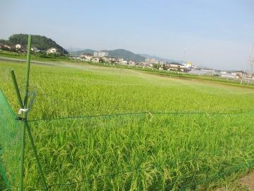 里芋の中の稲6