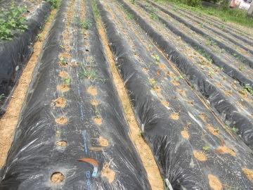 枯れた芋苗いっぱい