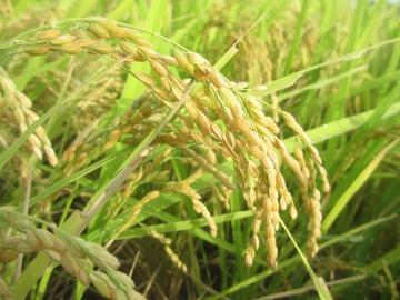 稲刈り間近とヒエ