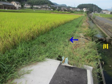 稲刈り間近とヒエ2