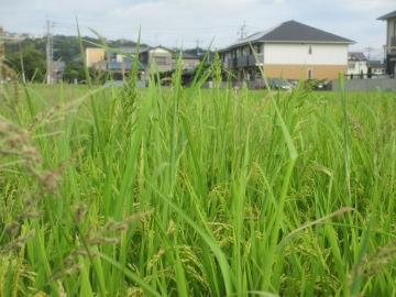 稲刈り間近とヒエ7