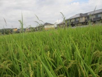 稲刈り間近とヒエ8