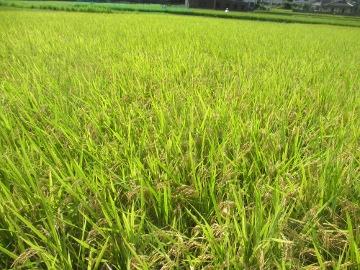 稲刈り~♪2