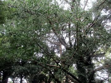 公孫樹の木9