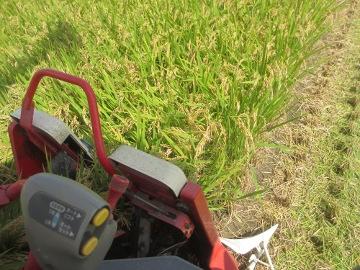 稲刈り始めます。4