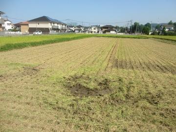 稲刈り始めます。5
