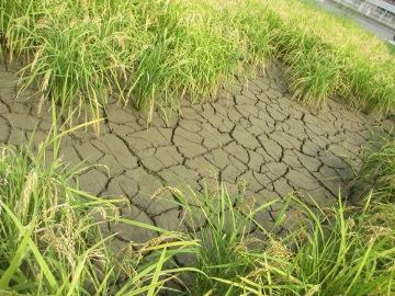 稲刈り始めます。6