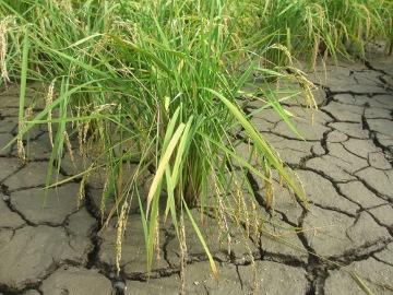 稲刈り始めます。7