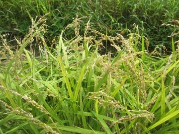 稲刈り始めます。8