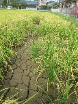 稲刈り始めます。11