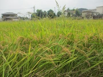 稲刈り始めます。14