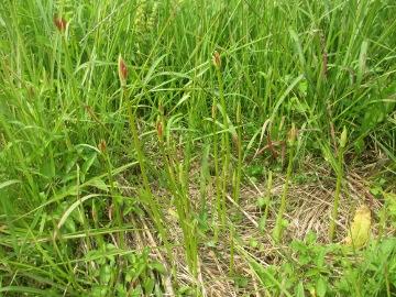 稲刈り始めます。15