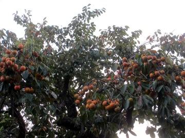 渋柿いっぱい