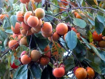 渋柿いっぱい2