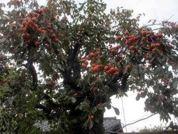 渋柿一部収穫2
