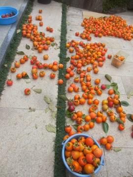 渋柿一部収穫4