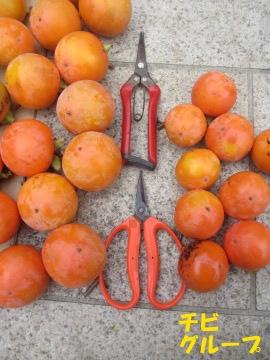 渋柿一部収穫7