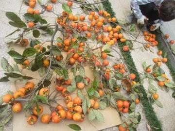 渋柿一部収穫3