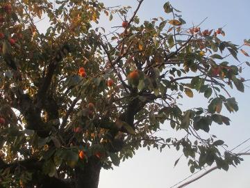 熟柿がうまい6