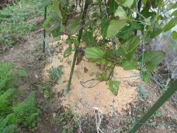 つくね芋掘り2