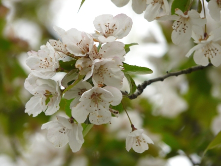 筑波実験植物園 リンゴ属の一種