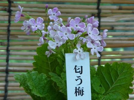 筑波実験植物園 さくらそう展 「匂う梅」