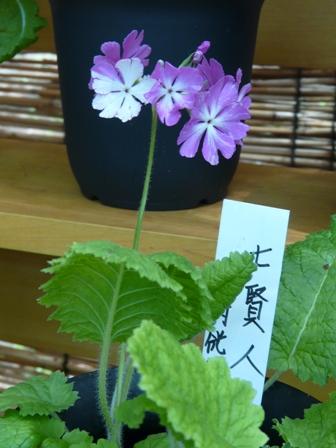 筑波実験植物園 さくらそう展 「七賢人」