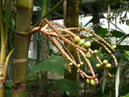 筑波実験植物園 ピナンガヤシ