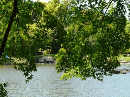 小石川後楽園 池と青モミジ