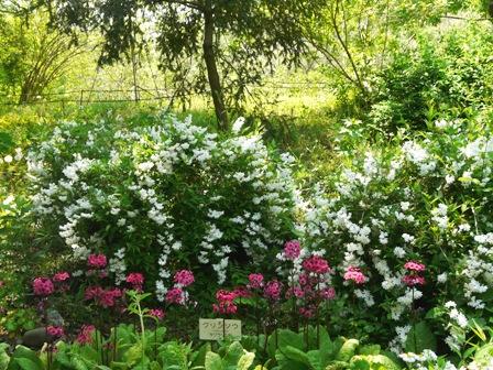 筑波実験植物園 クリンソウ & ヒメウツギの一種