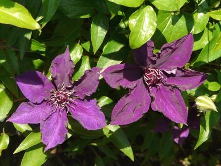 筑波実験植物園 クレマチス展 クレマチス 'さのの紫'