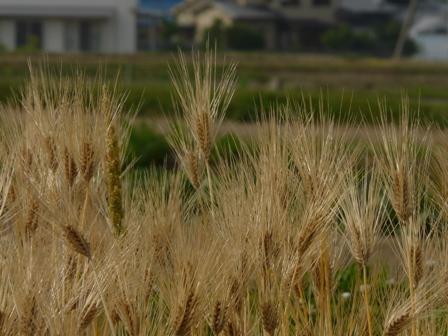 麦秋の麦畑 2