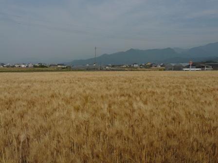 麦秋の麦畑 1