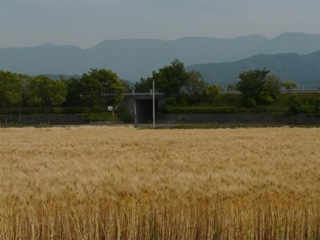 麦秋の麦畑 3