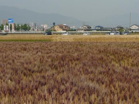 麦秋の麦畑 4