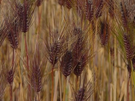 麦秋の麦畑 5